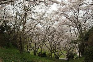090329桜347.JPG